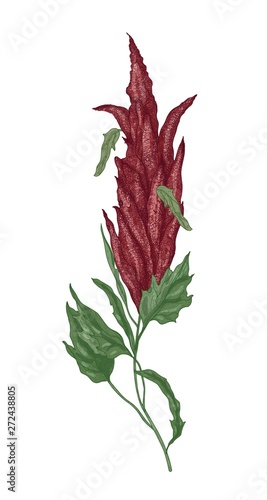 Detailed botanical drawing of quinoa or amaranth flowering plant or inflorescence Wallpaper Mural