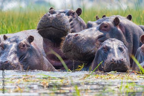 Flusspferde tauchen aus dem Wasser auf und schauen neugierig, Botswana, Okavango Fototapet