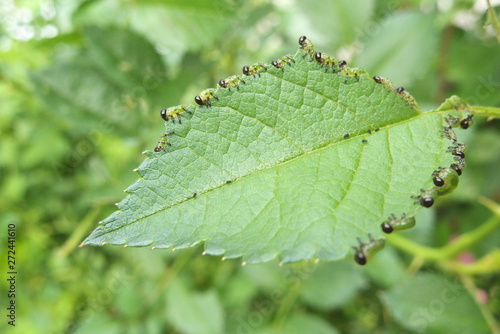 Cuadros en Lienzo バラの葉を食べる虫 - Caterpillars eating the rose leaf