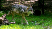 Wild Dangerous Wolf