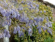 Flowering Wisteria, (Wisteria ...