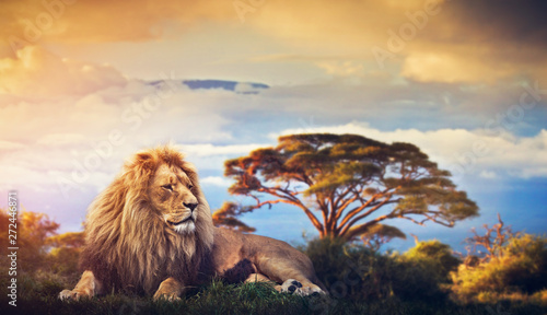 Garden Poster Lion Lion lying in grass. Sunset over Mount Kilimanjaro
