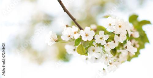 fiori di ciliegio in primavera Slika na platnu