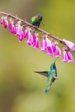 Fiery-throated Hummingbird (Panterpe Insignis)  And Lesser Violetear (Colibri Cyanotus)