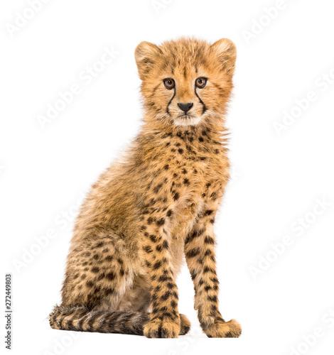 Canvastavla three months old cheetah cub sitting, isolated on white