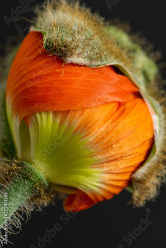 Obraz na plátně  macro of a single isolated young hatching orange iceland poppy blossom, a floral