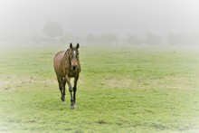 One Brown Horse Walking Towards The Viewer, Coming Out Of The Fog In A Misty Field. Concepts Of Animals, Weather, Seasons, Alone