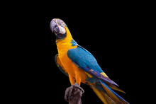 Bird Blue And Yellow Macaw Standing On Branches Isolated Black Background.