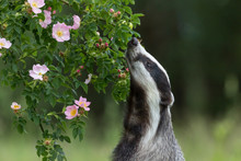 European Badger Is Standing On His Hind Legs And Sniffing A Wild Rose Flower
