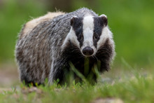 Portrait Of European Badger Outdoors. Badger Is Looking At The Camera.