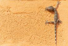 Close Up Gekko(Tokay Gecko) On The Orange Wall. Copy Space For Text.