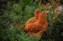 Purebred English Chickens Graz...
