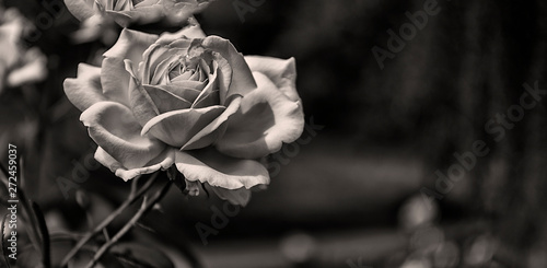 Einzelne Rose, monochrom, Panorama Fototapete