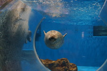 Seal Aquarium Swimming Feeding Show
