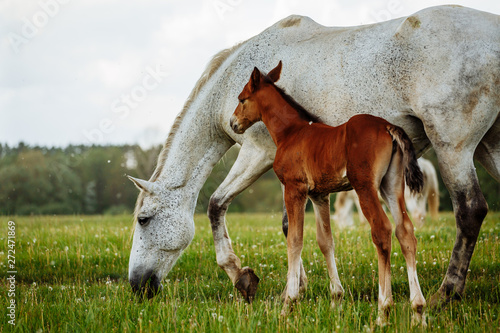 Fototapeta foal and mare horses white and brown in the meadow obraz