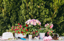 Lot Of Different Pink Blossom Flowers In Pots And Different Gardening Tools On Wood Table, With Green Garden Bush Background. Summertime In Garden Concept.