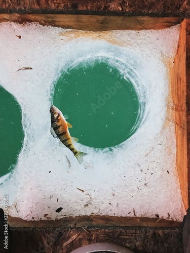 Yellow Perch floating on water over an ice fishing hole