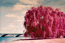 Weeping Willow Tree Along The ...