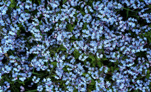 Blue Forget-me-not Flowers Is ...