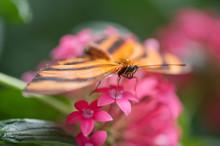 Orange-barred Tiger Butterfly