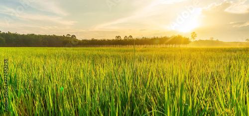 Montage in der Fensternische Honig Rice field panorama with sunrise or sunset in moning light