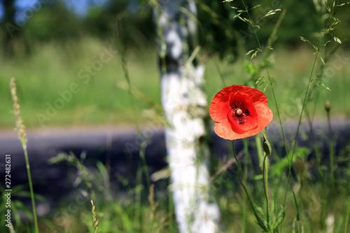 Fototapeta Kwiat maku na łące, pień brzozy i droga asfaltowa w tle. obraz
