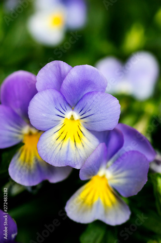 Ingelijste posters Pansies Viola tricolor flower Johnny run up Violaceae family macro background high quality