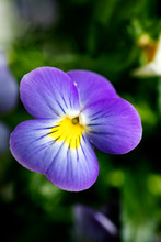Viola Tricolor Flower Johnny R...