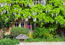 Front Cottage Garden With White Wisteria In Bloom On Stone Wall And Colourful Flowers Around Mushroom Ornament, Cotswolds, United Kingdom .