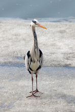 Heron On Ice, Searching For Fish
