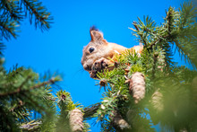 Squirrel Gnaws Cones On Top Of A Tree. Wild Nature. Squirrel Against A Blue Sky.