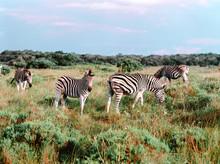 Zebras Grazing In The Bush In The Sunset