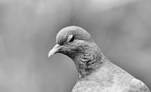 Dopey Winking Dove In B&w