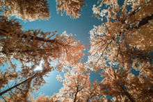 Trees During Spring In Austria, Shot In Infrared IR