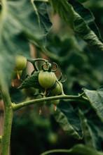 Fresh Tomatoes Still Growing