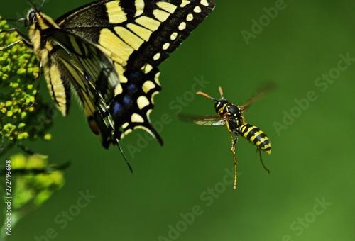 Gallischen Feldwespe (Polistes gallicus) Fototapet