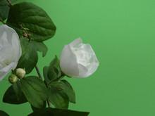 Close-up Of A White Flower Of Mock Orange Bush, Philadelphus  Virginalis, Isolated On A Green Background