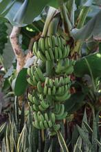 Growing Green Bananas