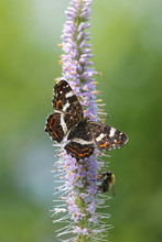 Map Butterfly On Veronicastrum Flower. Shallow Focus.
