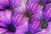 Purple Marguerite Daisies Photographed Through Prism