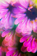 Colorful Zinnia Flowers Photographed Through A Prism