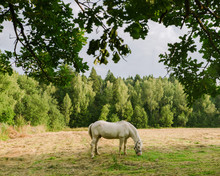 White Horse Grazing In Meadow In The Morning