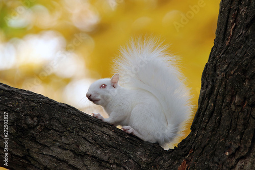 albino squirrel Wallpaper Mural