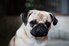 Portrait Of A Pug Looking At The Camera.