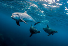 Swimming With Schooling Dolphins