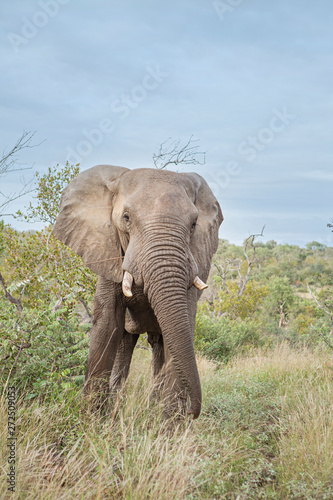 Fototapety, obrazy: lonely male elephant eating leaves in the savannah