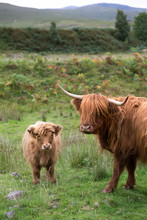 Mother And Baby Highland Cow