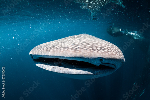 Whalesharks Swimming (varied compositions)
