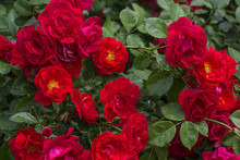 Buds Of Red Roses Among Green Leaves.