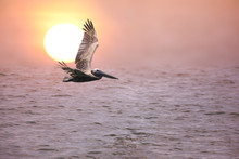 Pelican In Flight Along A Florida Coast At Sunrise